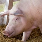 30 de focare de pesta porcina in judetul Satu Mare