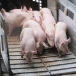 Focare de pesta porcina in judetul Satu Mare