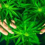 Cercetat pentru trafic de cannabis
