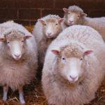 A furat patru oi. Politistii au pus mana pe individ