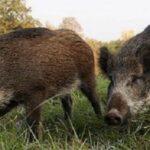 Focar de pesta porcina la Cicarlau