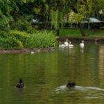 Lebede pe Lacul Chios din Cluj-Napoca (Foto)