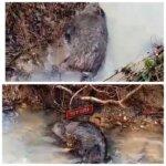 Porci mistreți morți pe Valea Stejerei