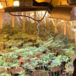 Cultura de cannabis descoperita la Arad