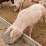 5 focare de pesta porcina in judetul Satu Mare